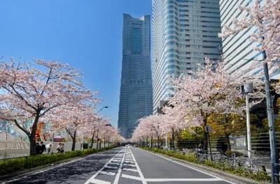 横浜_みなとみらい_みなとみらい21桜フェスタ